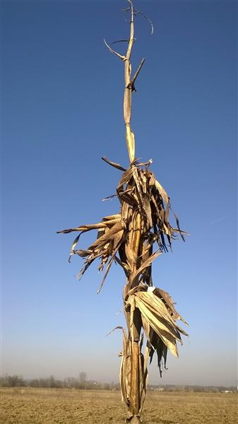 Portrait of the corn stalk, 2019 - Alfred Freddy Krupa