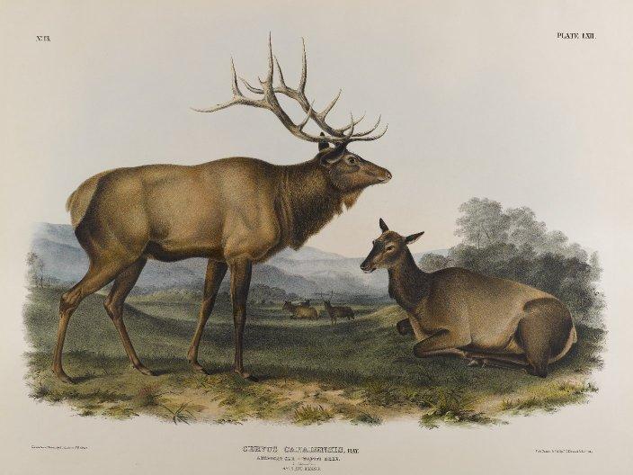 American Elk, 1845 - John James Audubon