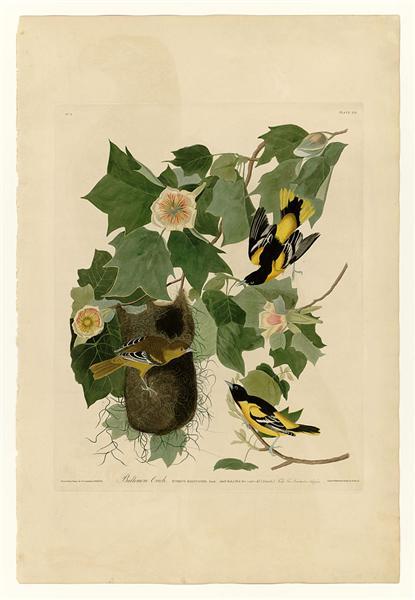 Plate 12. Baltimore Oriole - John James Audubon
