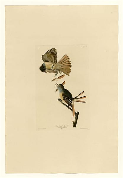 Plate 129 Great Crested Flycatcher - John James Audubon