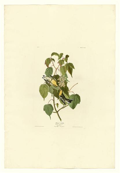 Plate 134 Hemlock Warbler - John James Audubon