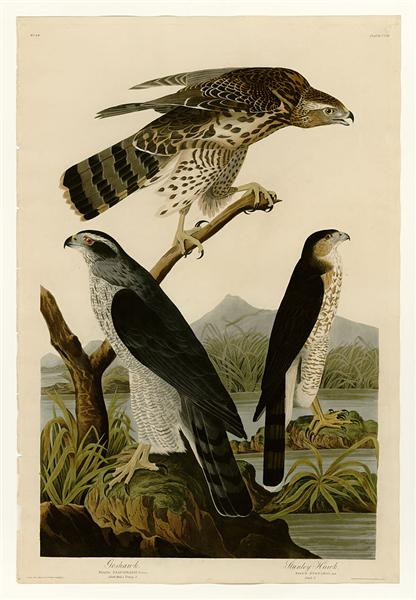 Plate 141 I. Goshawk - 2. Stanley Hawk - Jean-Jacques Audubon