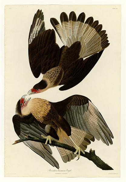 Plate 161 Brasilian Caracara Eagle - John James Audubon