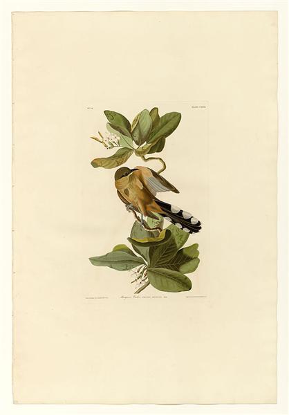 Plate 169 Mangrove Cuckoo - John James Audubon