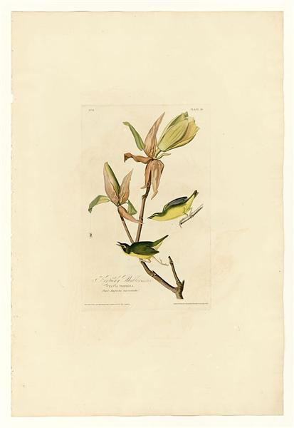 Plate 38. Kentucky Warbler - John James Audubon