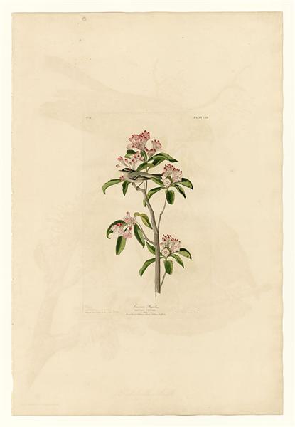 Plate 55. Cuvier's Regulus - John James Audubon