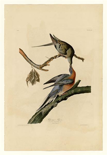 Plate 62. Passenger Pigeon - John James Audubon