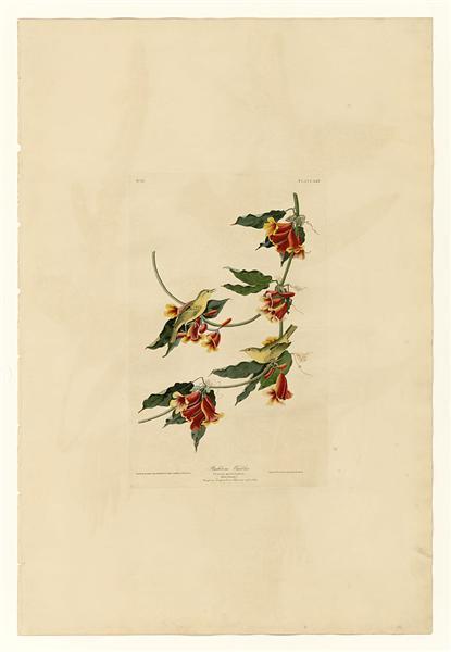 Plate 65 Rathbone Warbler - John James Audubon