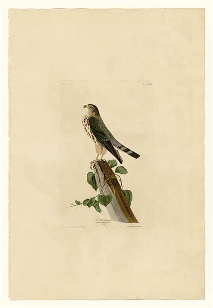 Plate 75 Le Petit Caporal - John James Audubon