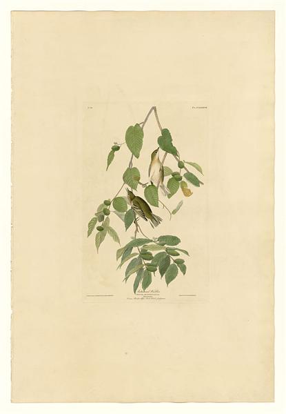 Plate 88 Autumnal Warbler - John James Audubon