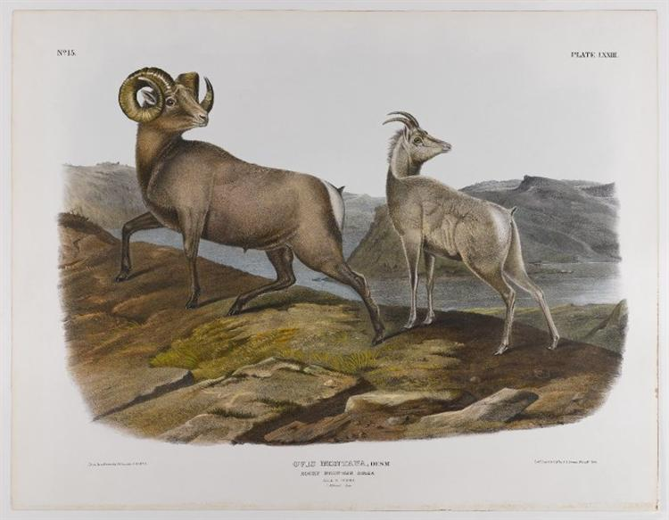 Rocky Mountain Sheep, 1845 - John James Audubon