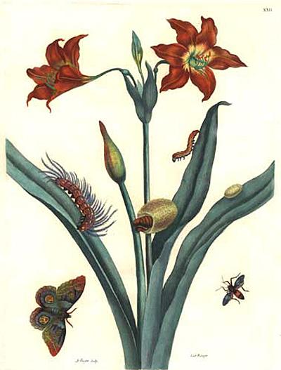 Rote Lilie, 1705 - Maria Sibylla Merian