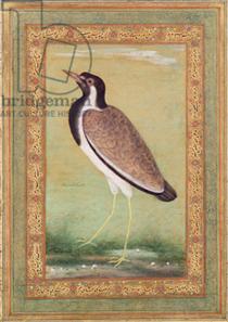Indian Lapwing - Ustad Mansur